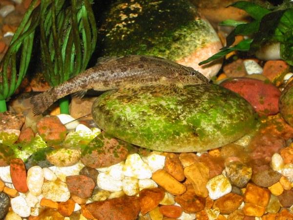 Homaloptera smithi - gravid female