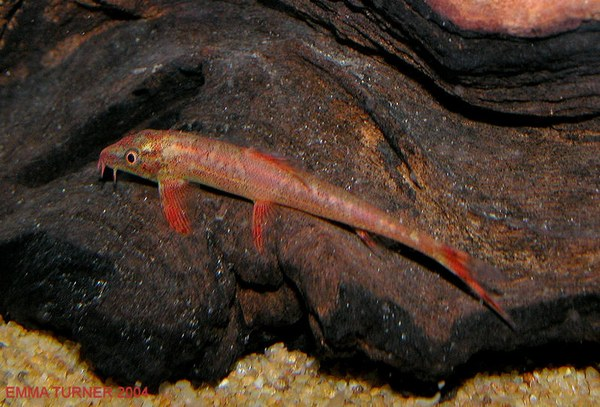 Homaloptera sp. (Unidentified)