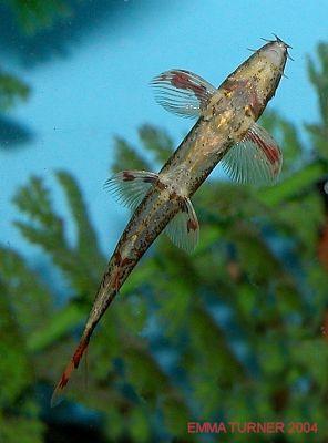 Homaloptera confuzona underside