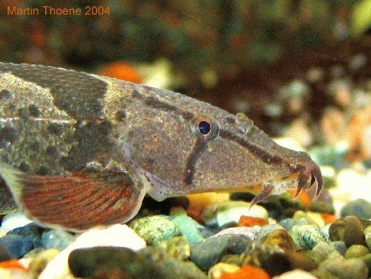 Homaloptera orthogoniata, head closeup
