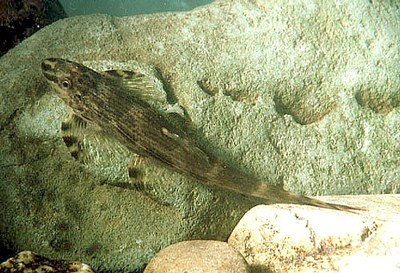 Homaloptera stephensoni