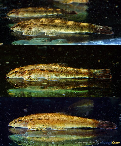 Homalopteroides tweediei - multiple image