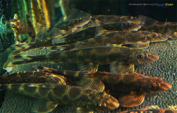 Homaloptera yunnanensis group