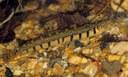 Iksookimia longicorpa