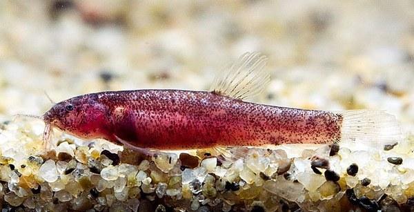 Kottelatlimia katik - Female