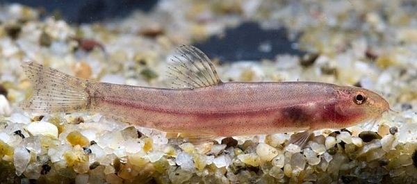 Lepidocephalichthys furcatus