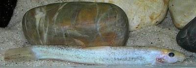 Lepidocephalichthys guntea - leucistic form