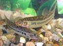 Lepidocephalichthys guntea pair