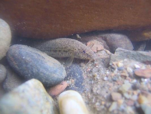 Lepidocephalichthys hasselti in habitat, Thailand