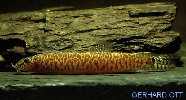 Lepidocephalichthys jonklaasi