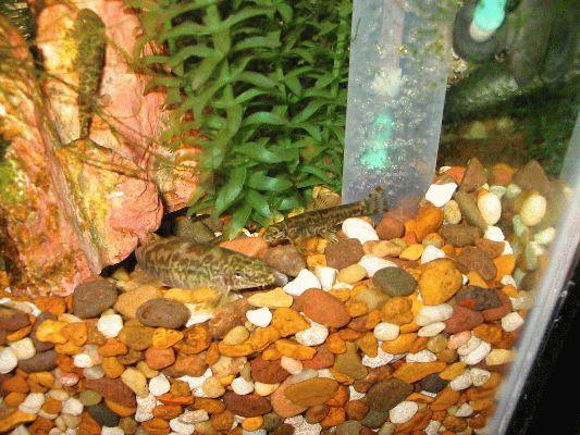 Liniparhomaloptera disparis disparis spawning