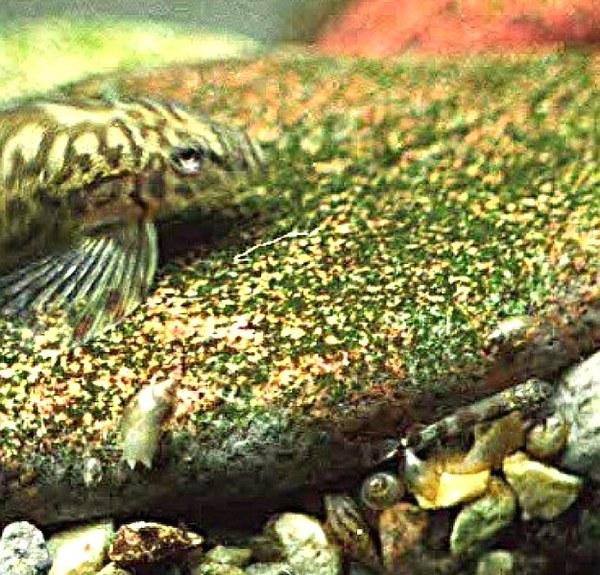 Liniparhomaloptera disparis disparis with fry (lower right)