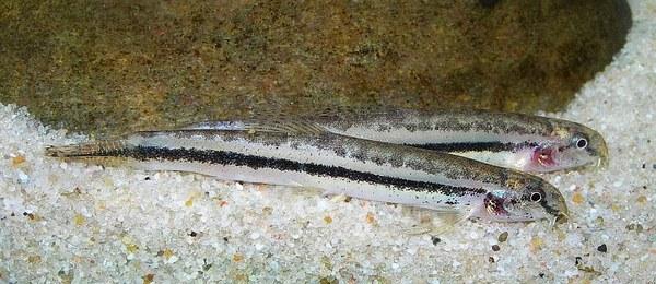 Lepidocephalichthys cf. guntea