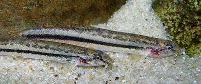 Lepidocephalichthys cf. guntea - Closeup