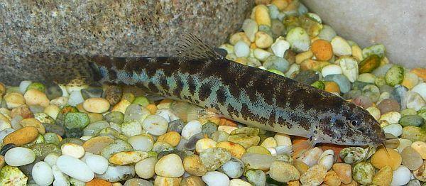 Lepidocephalus cf. thermalis