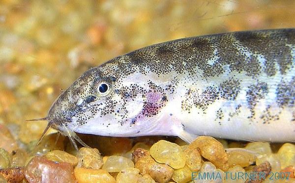 Lepidocephalus cf. thermalis -Closeup