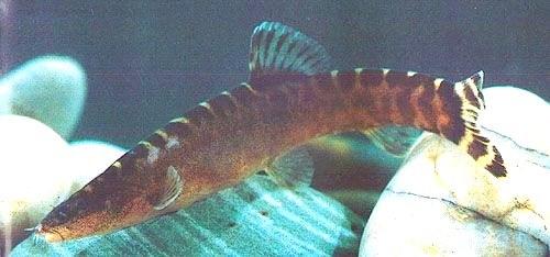Leptobotia guilinensis