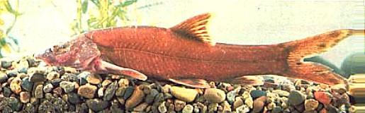 Leptobotia rubrilabris