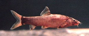 Leptobotia taeniops