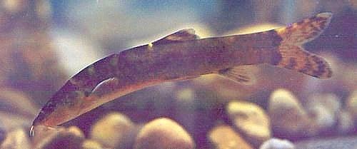 Leptobotia tientaienensis