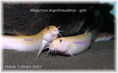 Misgurnus anguillicaudatus - pair