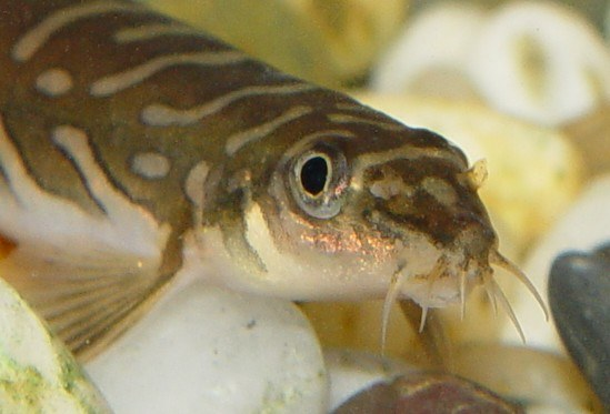 Mesonoemacheilus triangularis