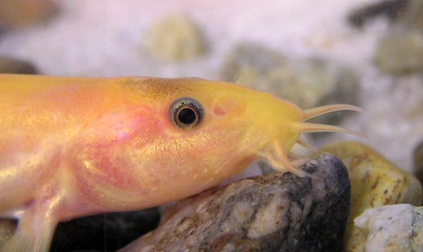 Golden dojo loach (Misgurnus anguillicaudatus) closeup of head