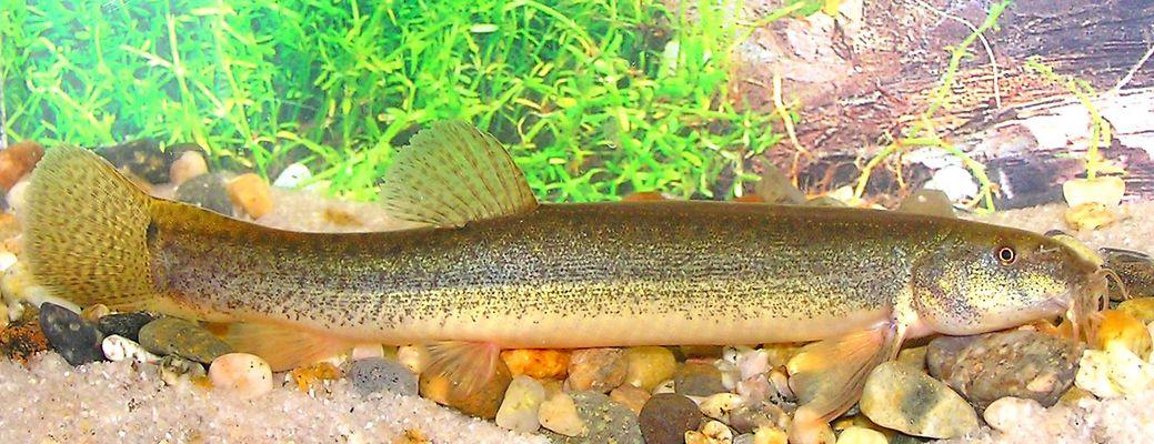 Weather loach misgurnus anguillicaudatus for Loach fish types