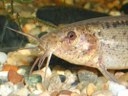Weather Loach (Misgurnus anguillicaudatus) head closeup