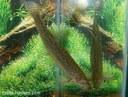 Misgurnus anguillicaudatus