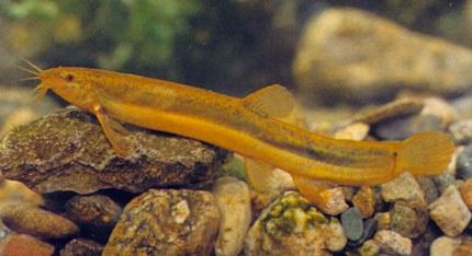 """Misgurnus mizolepis, from """"Raising Korean Fish"""""""