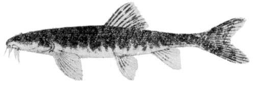 Nemacheilus oxianus