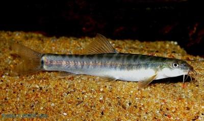 Nemacheilus pallidus