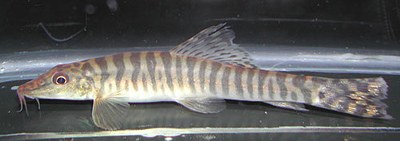 Nemacheilus rueppelli