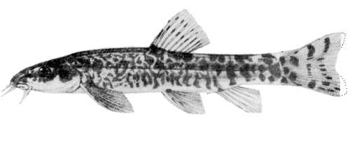 Nemachelius angorae