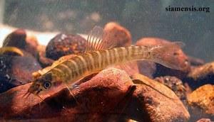 Nemachelius platiceps