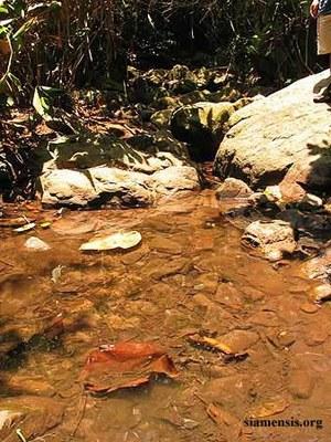 Nemachelius platiceps - Natural habitat