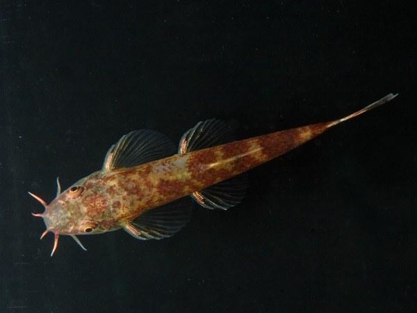 Neohomaloptera johorensis - Top view