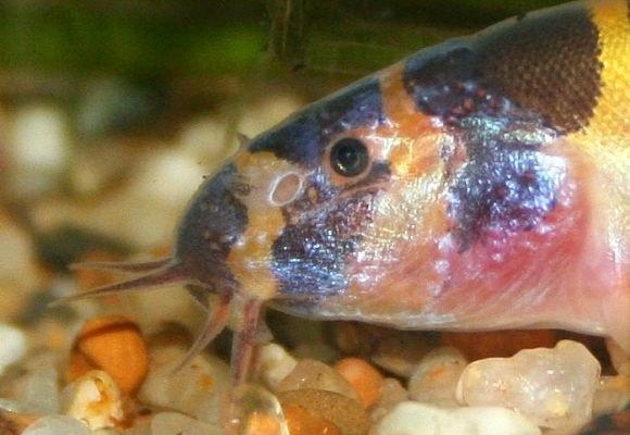 Pangio myersi - closeup of face, barbels, gills