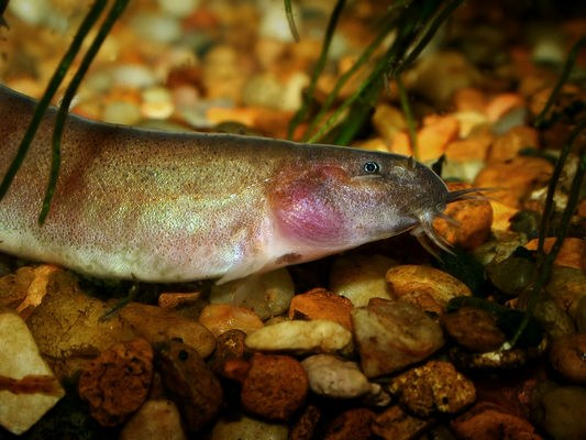 Pangio oblonga head detail showing typical pink colour in the gill area