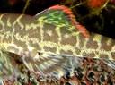 Pseudogastromyzon cheni, dorsal fin.