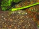 """Pseudogastromyzon cheni, baby around 3/8"""""""
