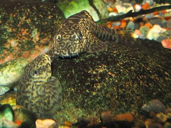 Pseudogastromyzon cheni - Breeding activity