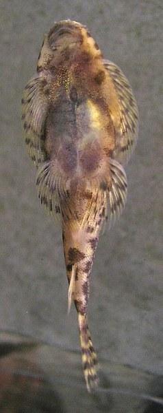 Pseudogastromyzon cheni  - Female underside