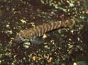 Pseudogastromyzon cheni - 1cm baby