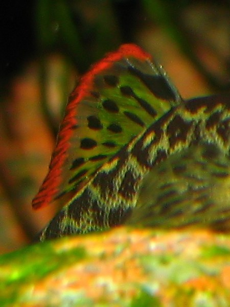 Pseudogastromyzon cheni - dorsal fin closeup