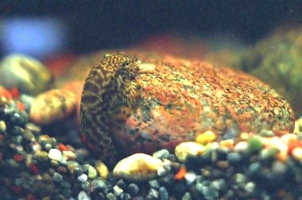 Pseudogastromyzon cheni male digging spawning pit