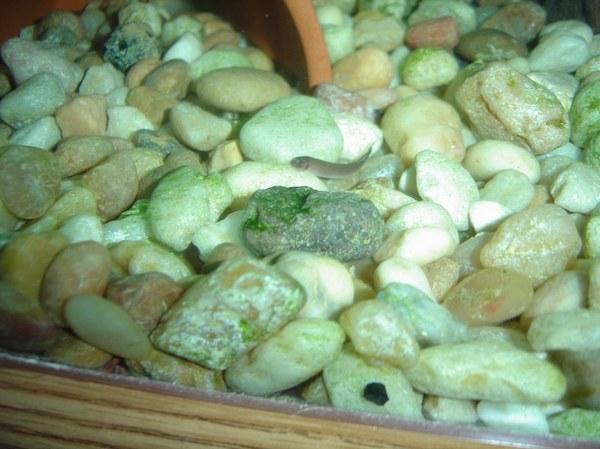 Pangio oblonga baby on top of gravel