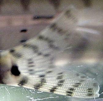 Parabotia fasciata - Closeup of Caudal
