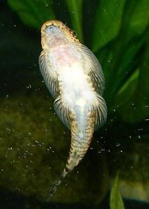 Pseudogastromyzon fangi - Underside